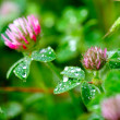 Pink Clover (Trifolium Pratense) — Stock Photo