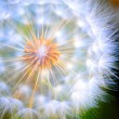 Close-up Large Dandelion — Stock Photo #3606764