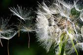 Dandelion Seeds — Stock Photo