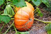 Cinderella Pumpkins — Stock Photo