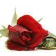 Turtle and rose — Stock Photo