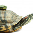 Turtle family — Stock Photo #3913269