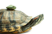 Turtle family — Stock Photo