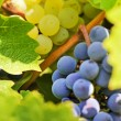 Stock Photo: Blue and yellow grapes in vineyard