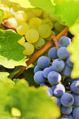 Blue and yellow grapes in the vineyard — Stok fotoğraf