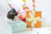 Guinea pig and gifts — Stock Photo