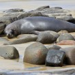 Stock Photo: Fur Seal Napping