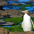 Stock Photo: Yellow Eyed Penguin Profile