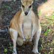 Wallaby in the Shade — Stock Photo
