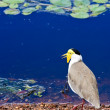 Masked Lapwing — Stock Photo #2701289