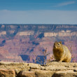 Squirrel at Grand Canyon — Stock Photo