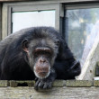 Chimp — Stock Photo #2702292