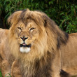 Stock Photo: Lion Pair in the Zoo