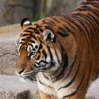 SIberian Tiger — Stock Photo #2702387