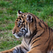 Tiger Cub — Stock Photo #2702497