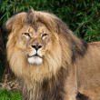 Royalty-Free Stock Photo: Lion Portrait