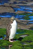 Yelloweyed Penguin Posing — Stock Photo
