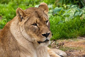 Lioness in the Zoo — Stock Photo