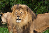 Lion Pair in the Zoo — Stock Photo