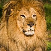 мужчина лев портрет — Стоковое фото
