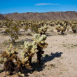 Jumping Cholla Cactus Field — Stock Photo