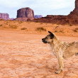 Stray Dog in Monument Valley — Stock Photo #2766711