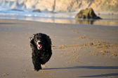 Running Pooch — Stock Photo