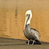 Brown Pelican on the Beach — Stock Photo