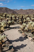 Path through Cholla Cacti — Stock Photo