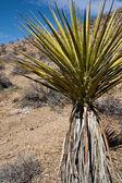 Yucca in Joshua Tree National Park — Stock Photo