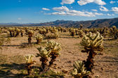 Jumping Cholla Cacti — Stock Photo