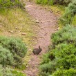 Brush Rabbit on a Hiking Trail — Stock Photo