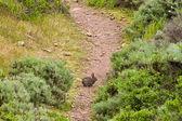 Brush Rabbit on a Hiking Trail — Stock Photo