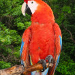 Stock Photo: Scarlet Macaw