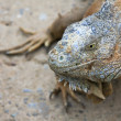 Green Iguana Portrait - Stock Photo