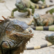 Green Iguana Head - Stock Photo