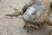 Green Iguana Portrait — Stock Photo