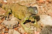 Green Iguana — Stock Photo