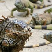 Green Iguana Head — Stock Photo