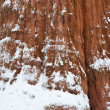 Sequoia Tree Trunk — Stock Photo