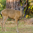 Blacktail Stag in Velvet — Stock Photo #3408894