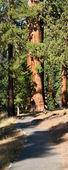 红杉森林路径 — 图库照片