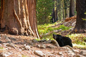 Black Bear in Redwood Forest — Stock Photo