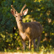 Blacktail Buck — Stock Photo #3455921