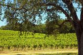 Shenandoah Valley Vineyards — Stock Photo