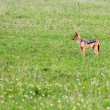 Stock Photo: Black Backed Jackal