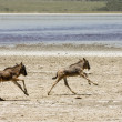 Orphaned Baby Wildebeests Running in Serengeti — Stock Photo