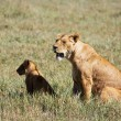 Постер, плакат: Lioness and Cub in Ngorongoro