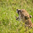 Cheetah Yawning in Tall Grass — Stock Photo