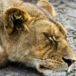 Sleeping Wild Lioness — Stock Photo
